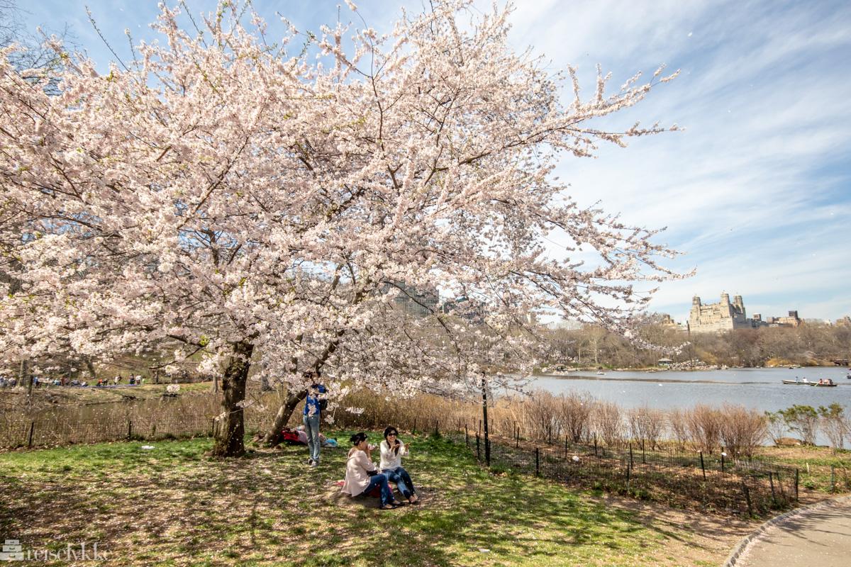 Kirsebærtreblomtring i Central Park