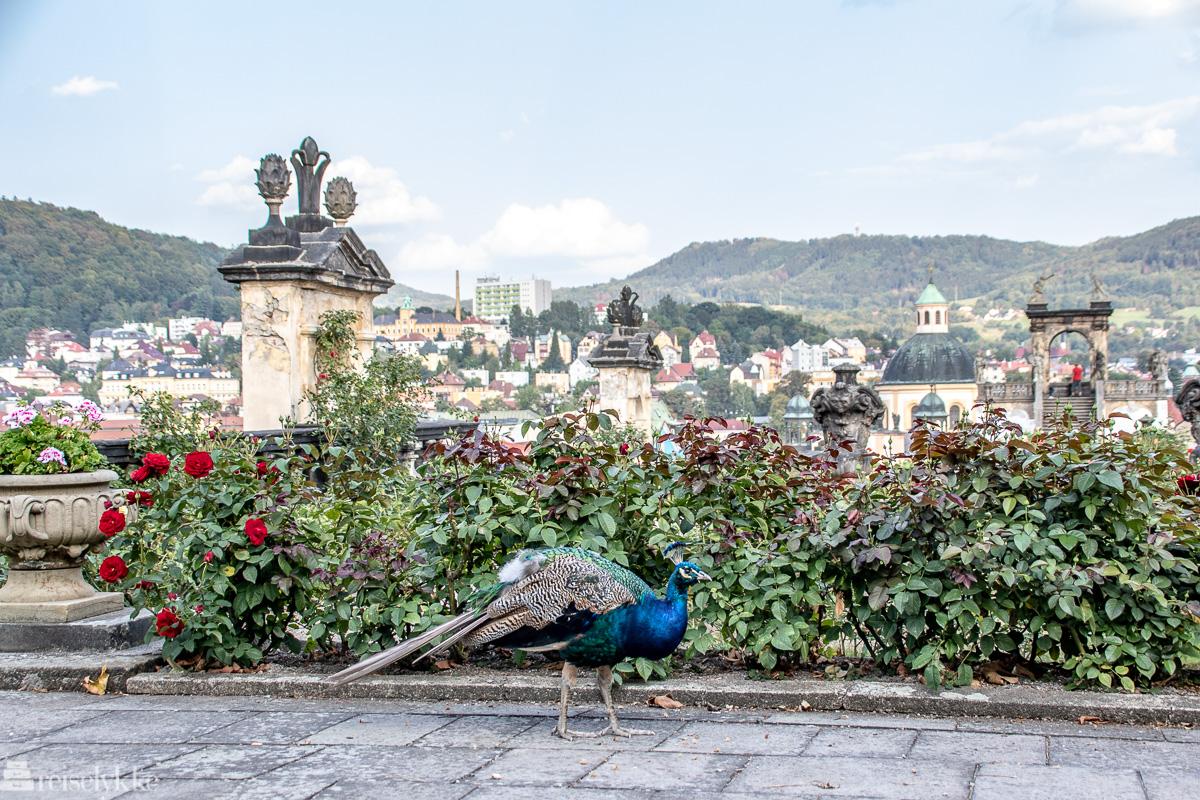 Påfugl ved slottet i Děčín