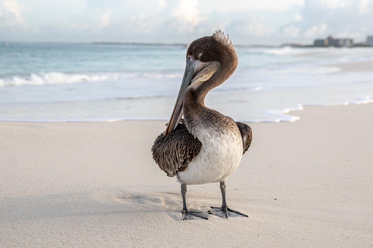 Pelikan på Aruba