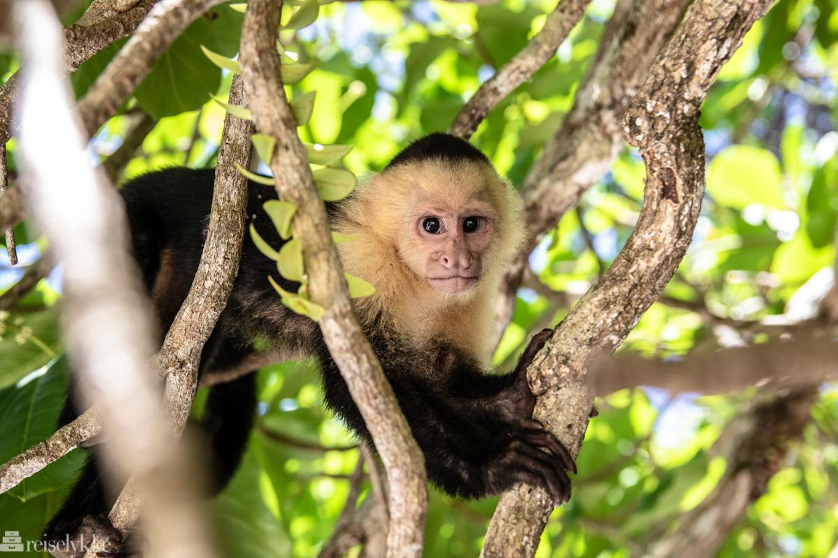 Apekatt i Manuel Antonio Costa Rica