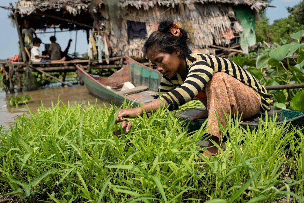 Flytende grønnsakshager på Tonlé Sap