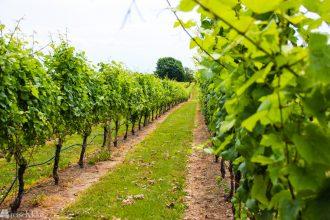 Fra vingård til vingård i New York _
