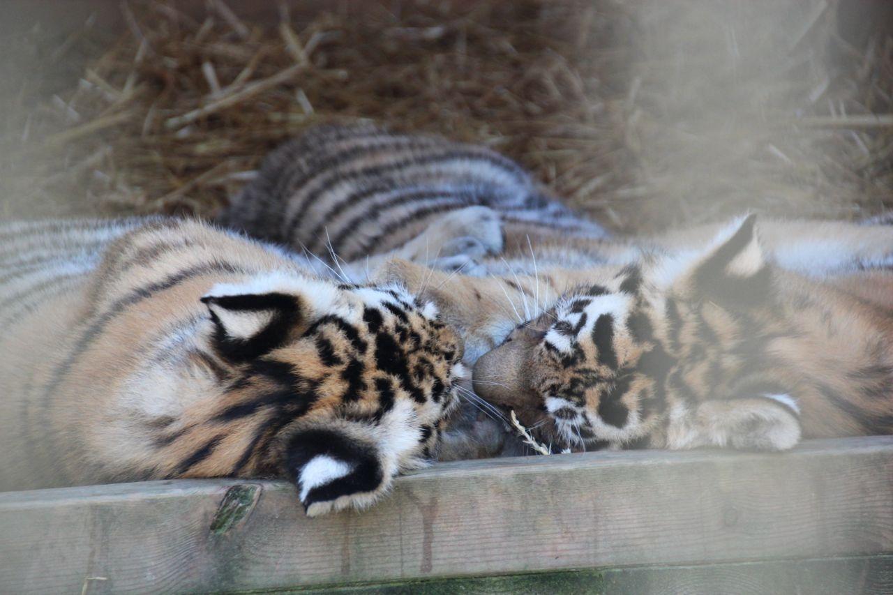 På Nordens Ark i Sverige kom vi tett på utrydningstruede Amur-tigre
