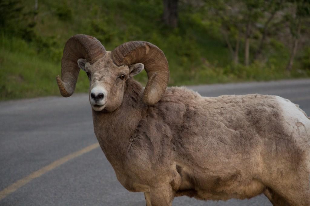 Mountain Sheep. Stabeister som helst ikke vil flytte seg ... Foto: privat