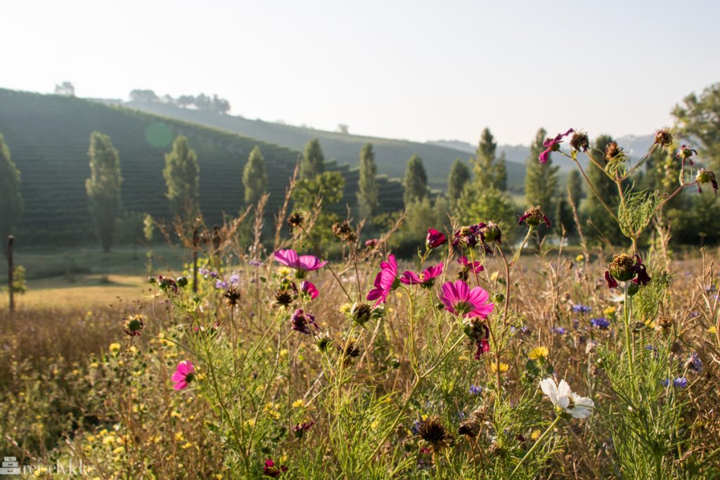 Blomster ved vinmarker i Monferrato Piemonte