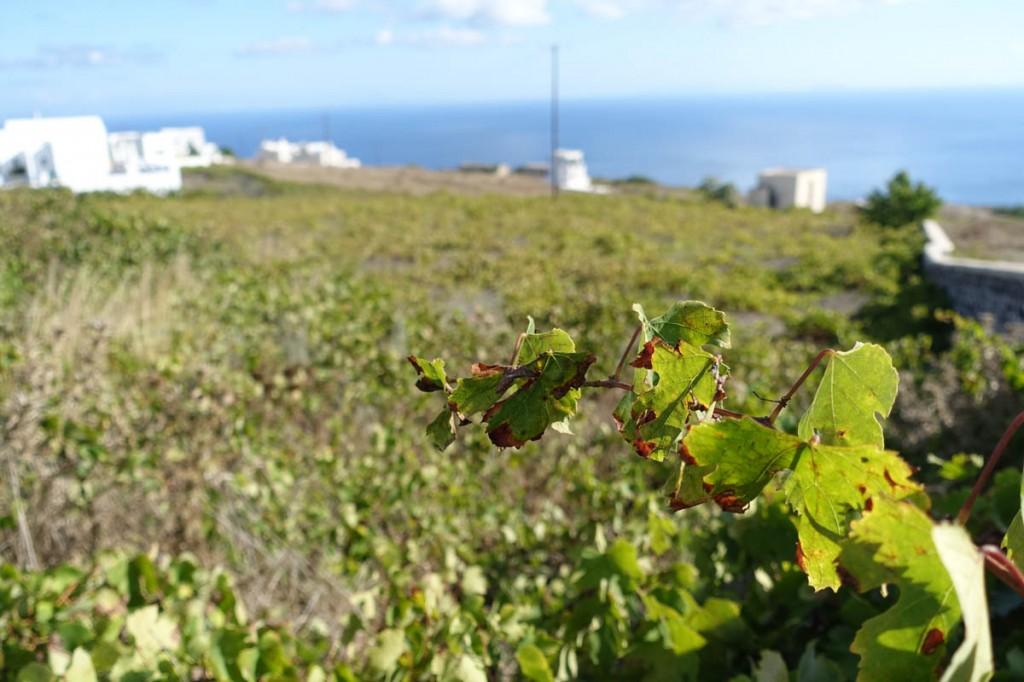 vin på santorini