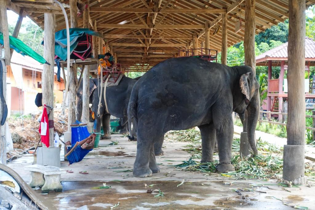 Elefanter i Thailand: Koh Chang