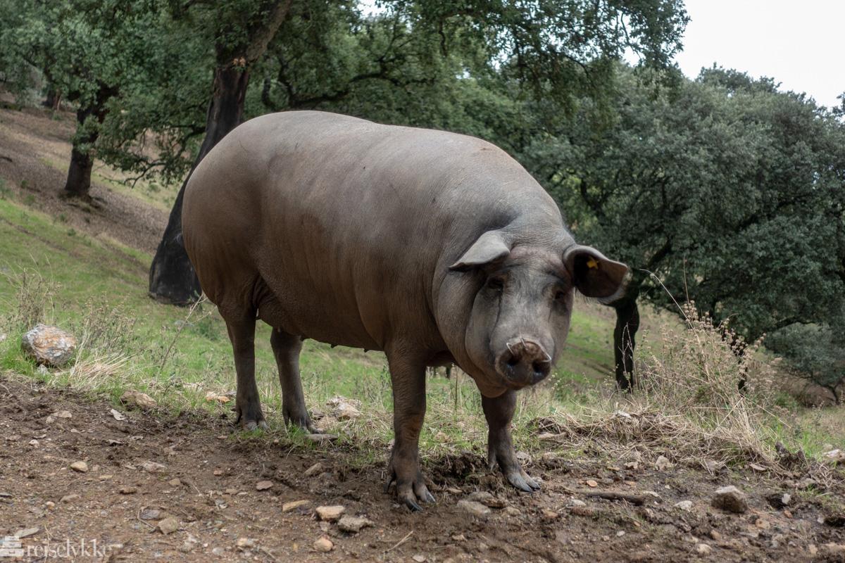 En iberico gris hos Eiriz