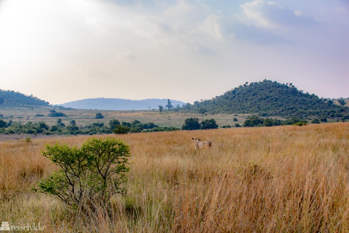 En løve på jakt i Pilanesberg