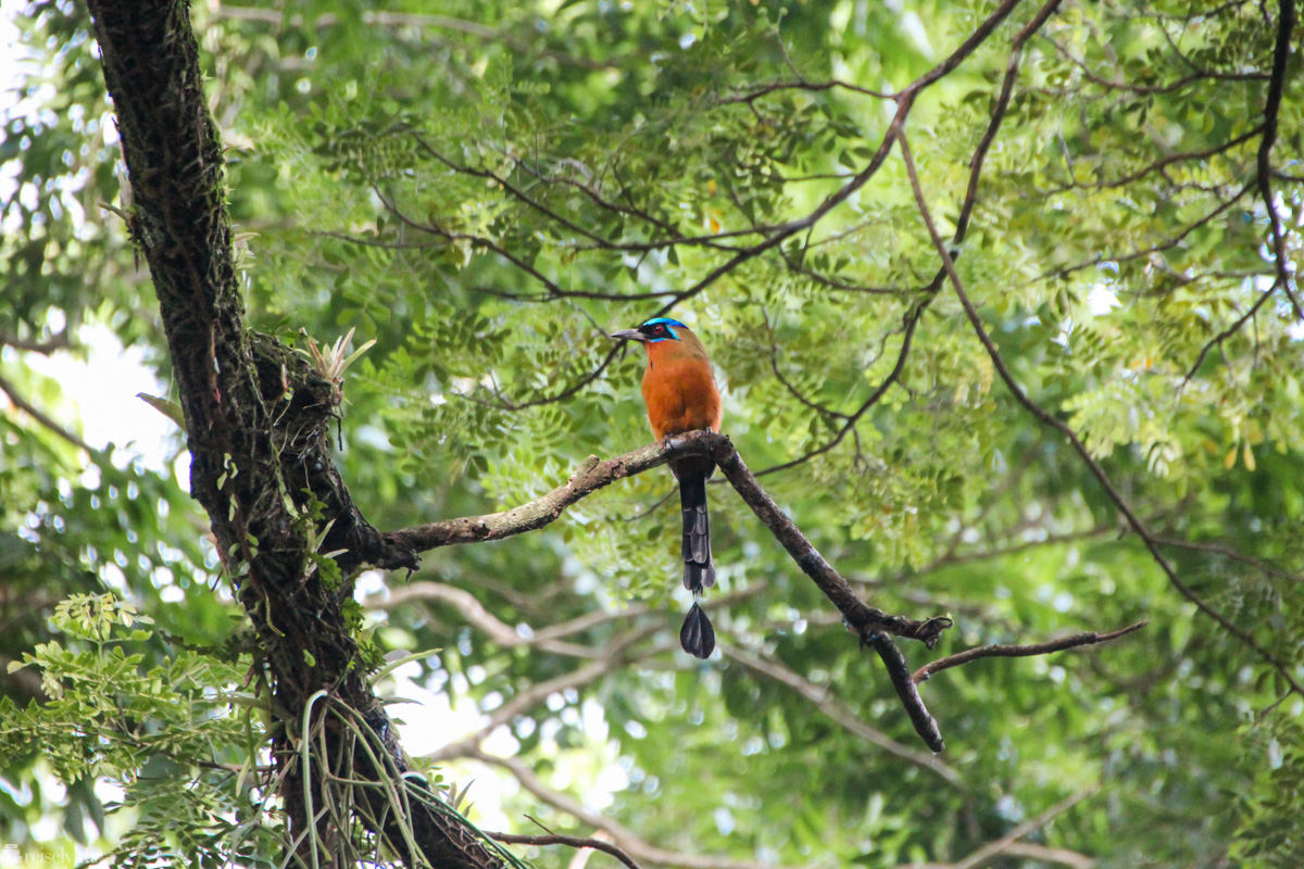 blue crown motmot, fugletitting på trinidad