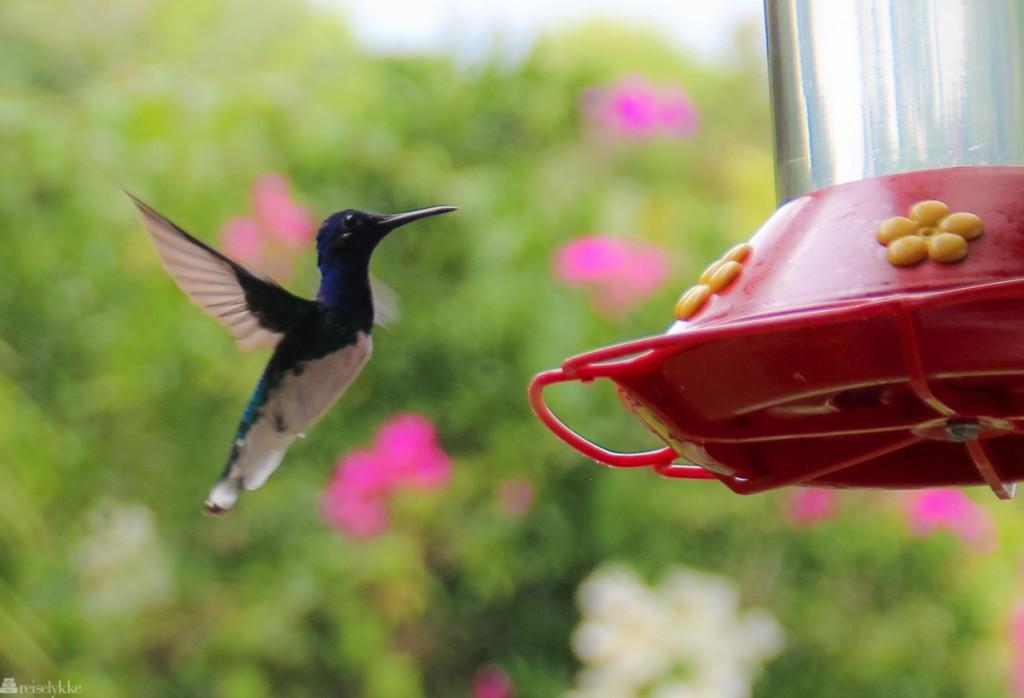 fuglejakt på trinidad, yerette, kolibri