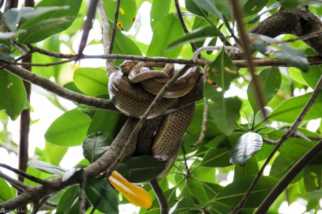 Caroni Swamp National Park, slange, fuglejakt på trinidad