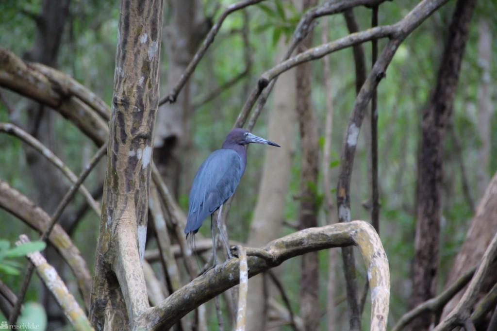Caroni Swamp National Park. fuglejakt på trinidad
