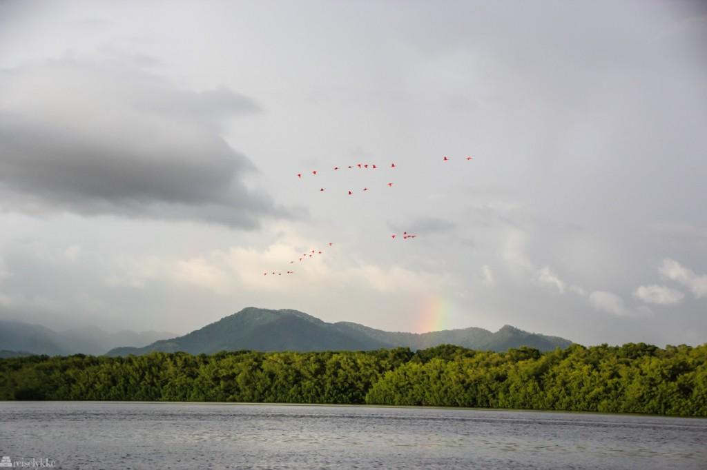 rødibis, fuglejakt på trinidad