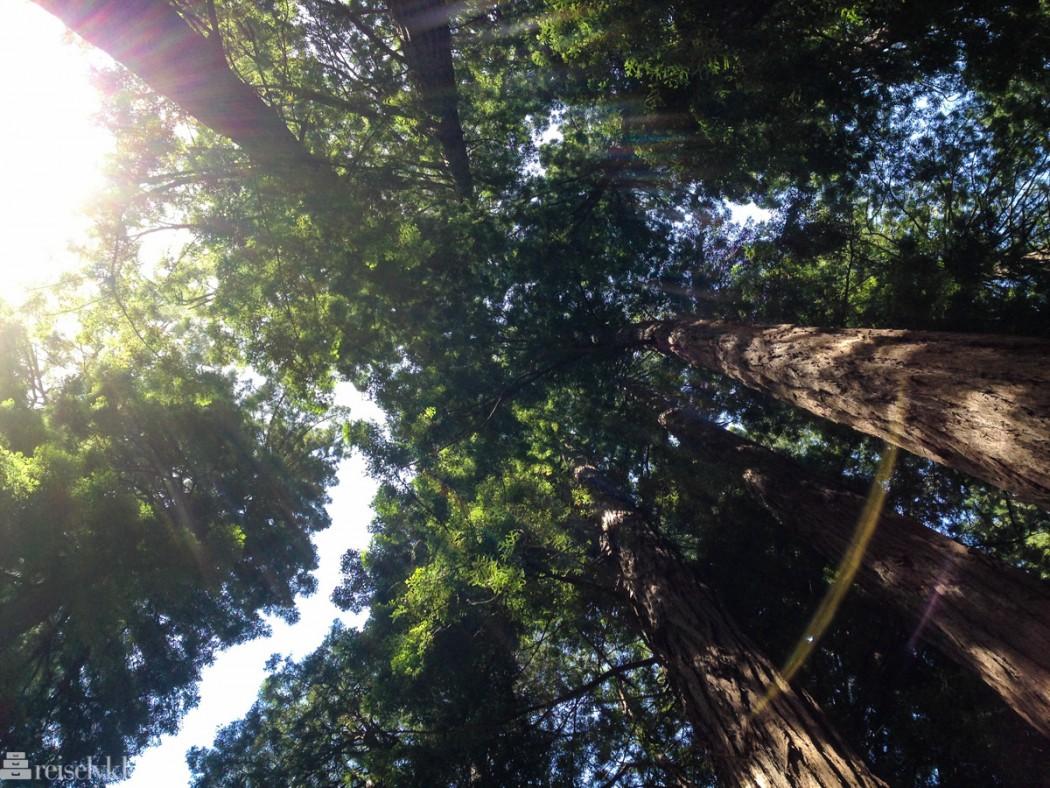 Muir Woods i California