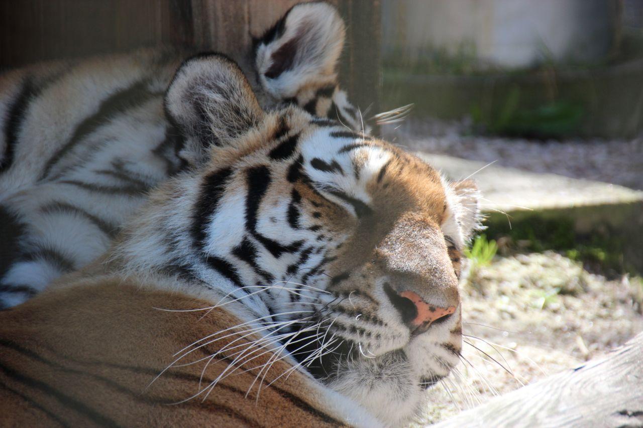 Tiger i Nordens Ark