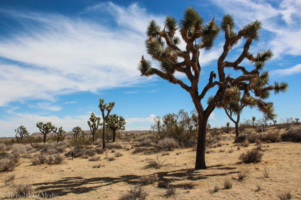 Joshua Tree i Joshua Tree National Park