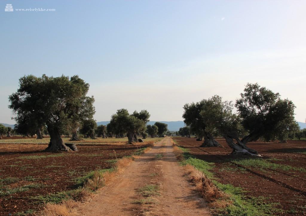 Olivenlund i Puglia