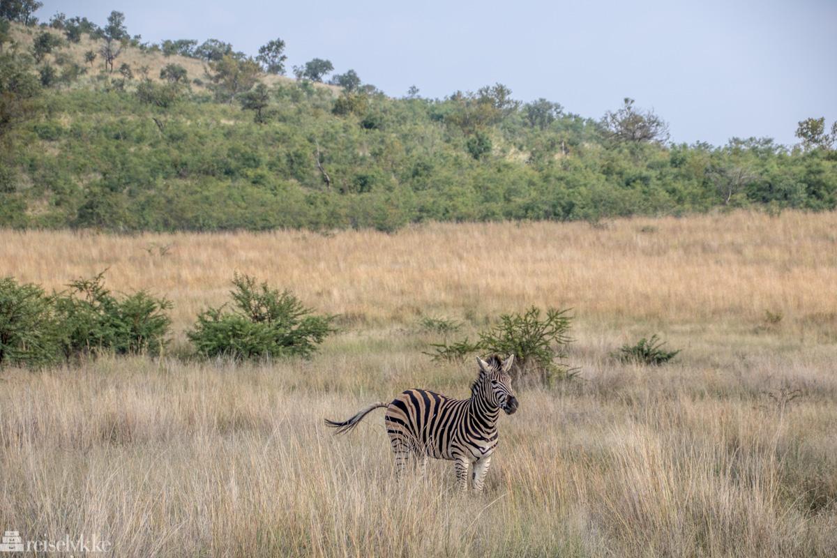 Sebra i Pilanesberg