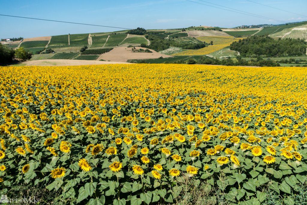 Solsikkeenger i Piemonte