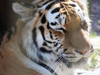 Nordens ark, tiger