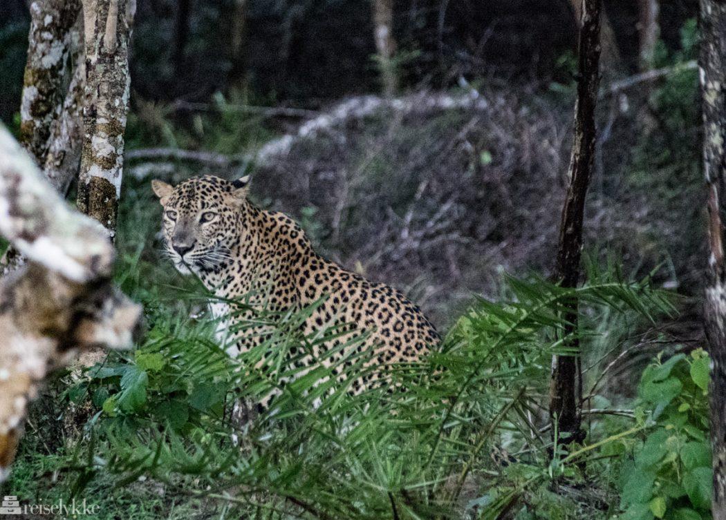 Leopard i Wilpattu National Park Sri Lanka
