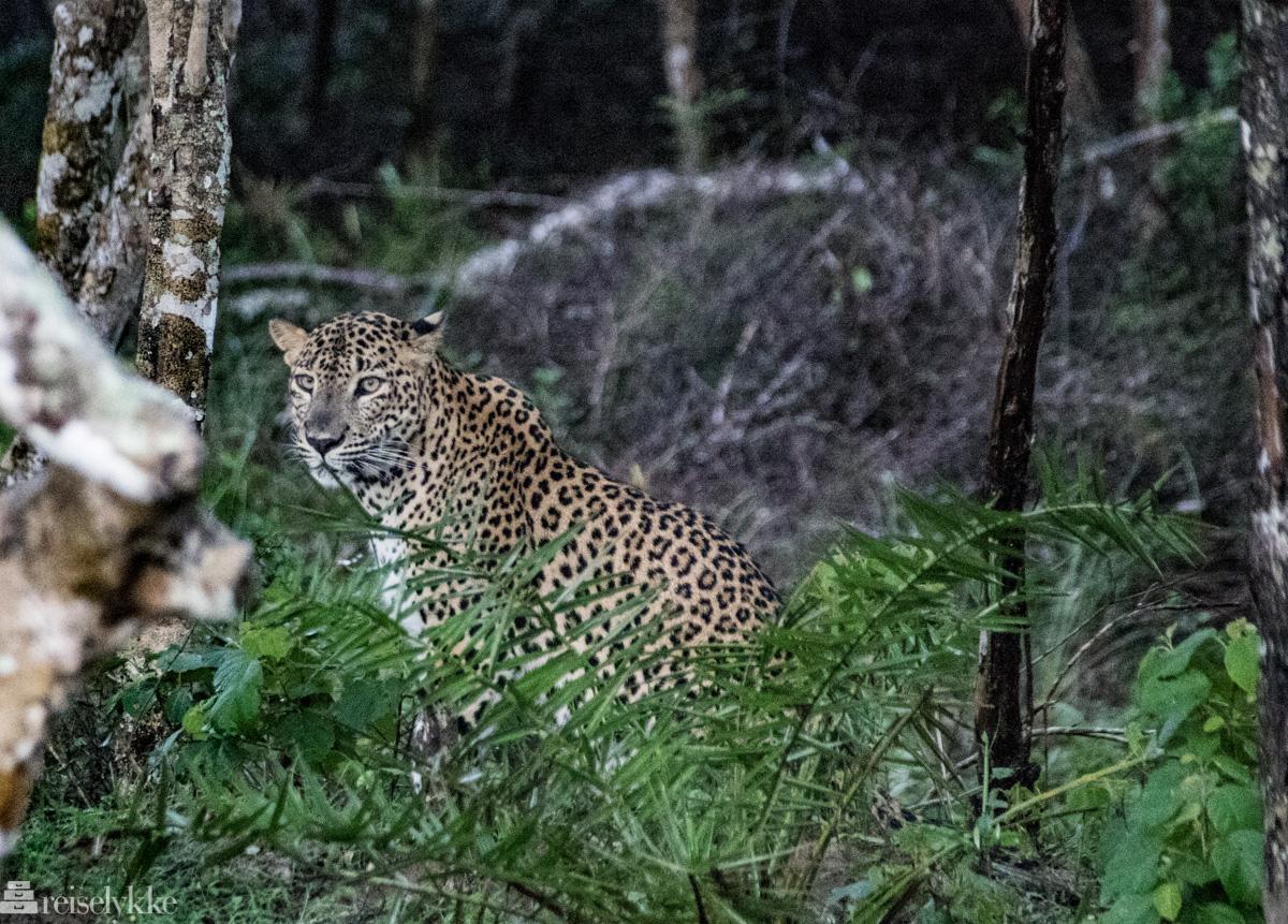 Dyrene - en av mange gode grunner å reise til Sri Lanka. Her en leopard